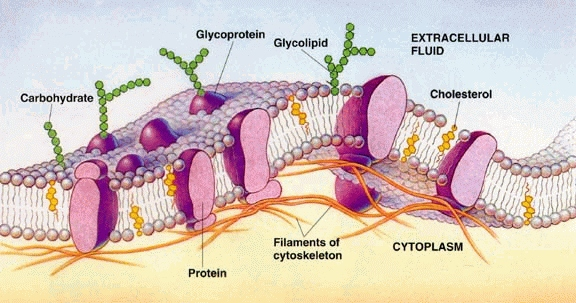 Cell Membrane Diagram Unlabeled Cell membrane.jpg 03-sep-2013
